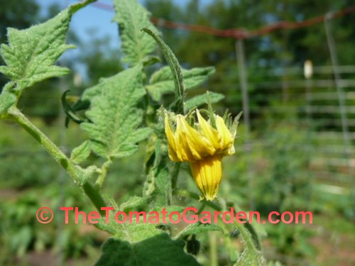 Amana Orange Tomato Bloom