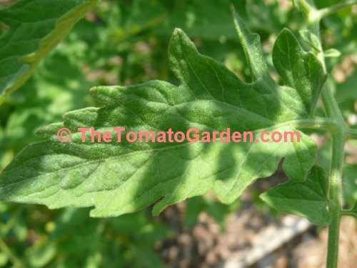 Black Cherry Tomato Leaf