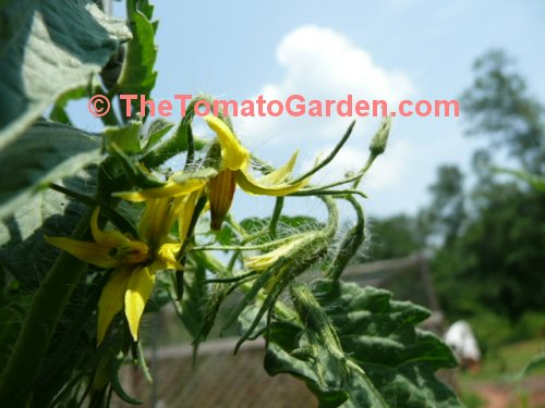 Bush Beefsteak Tomato Bloom