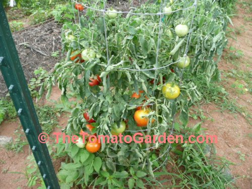 Campbell 1138 Tomato Plant