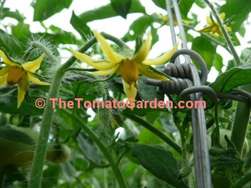 Campbell 1138 Tomato Bloom