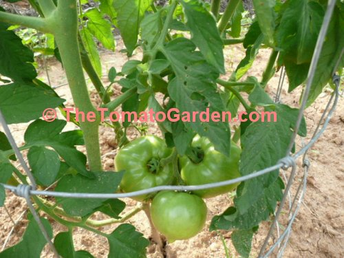 Campbell 1138 Tomato
