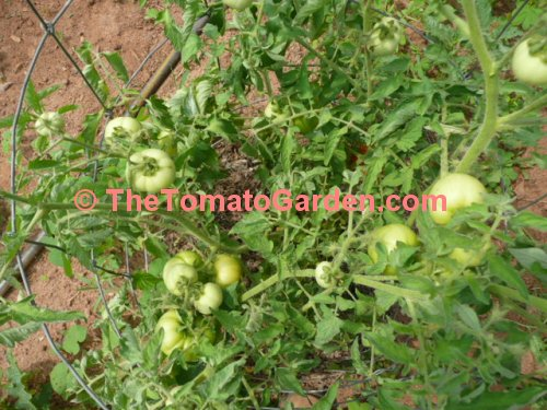 Campbell 24 tomato plant