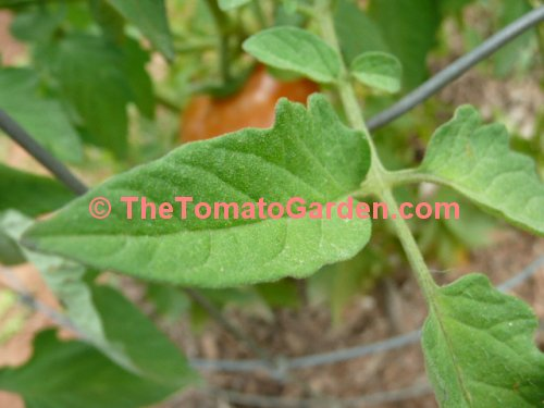 Campbell 24 tomato leaf
