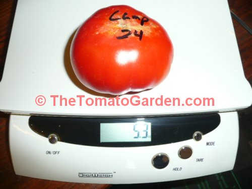 Campbell 24 tomato