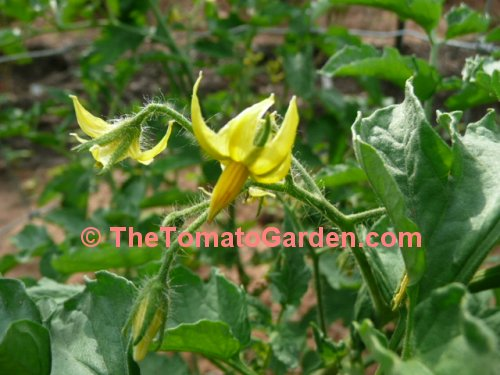 Campbell 31 tomato plant bloom