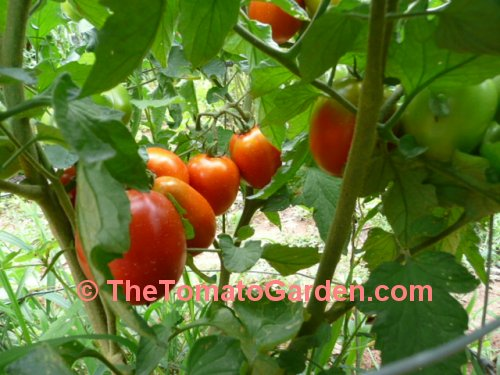 Campbell 31 tomato plant fruit set