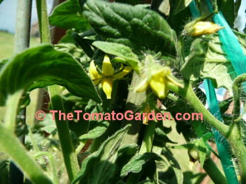 Dwarf Champion 15 tomato bloom