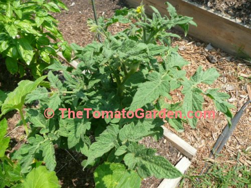 Dwarf Champion Improved tomato plant