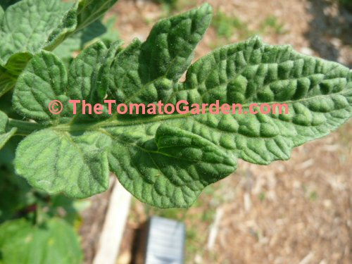 Dwarf Champion Improved tomato plant leaf type