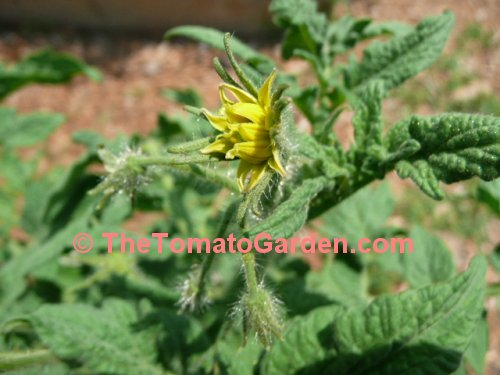 Dwarf Champion Improved tomato plant bloom
