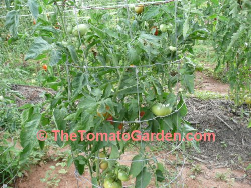 Earls Faux Tomato Plant