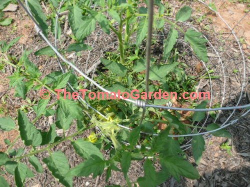 Indian Stripe Tomato Plant