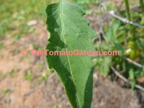 Indian Stripe Tomato Leaf