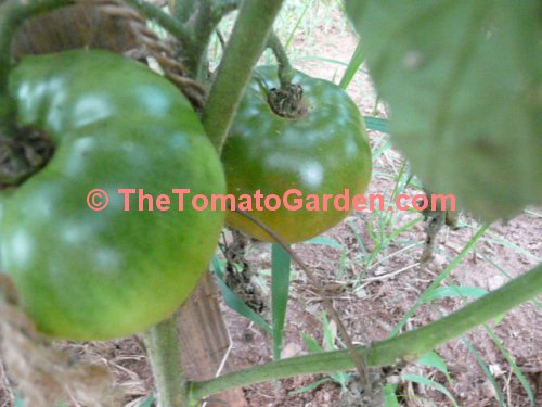 Indian Stripe Tomato