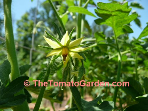 Livingston's Perfection tomato bloom