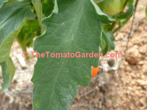 Mountain Glory Tomato leaf