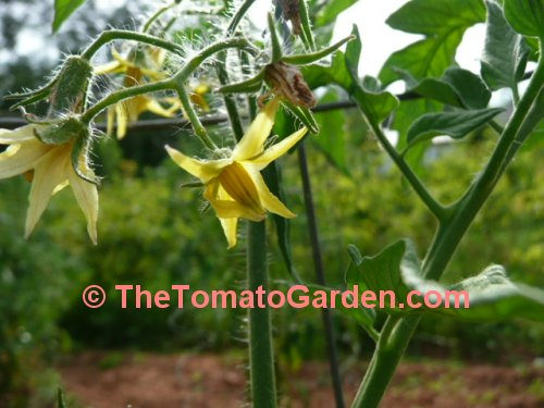 Primo Red Tomato Bloom