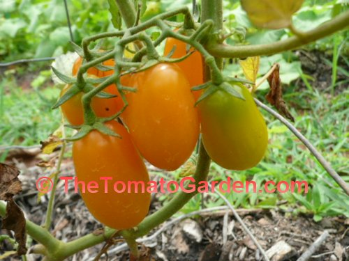 Solid Gold Tomato
